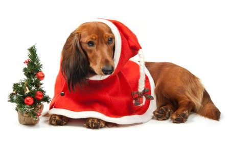 Dog with christmas clothing over white photo