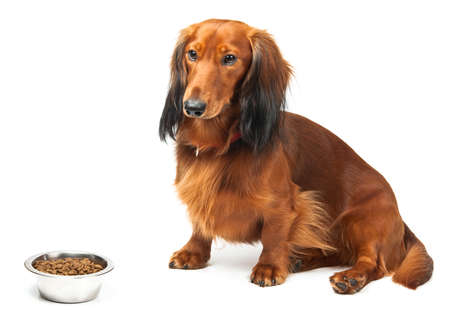 Dachshund and bofl with food over white photo