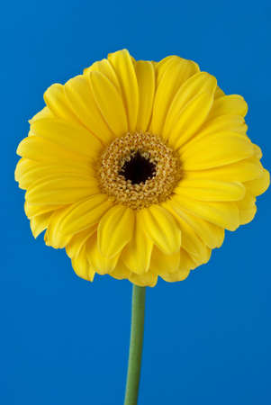Gerbera daisy flower over blue background photo