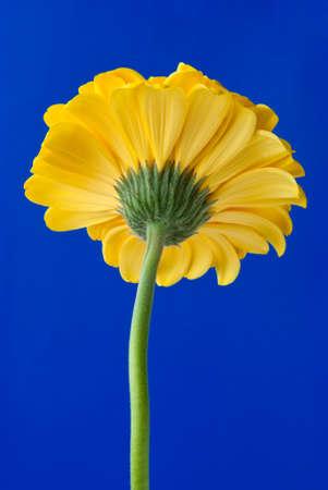 Yellow gerbera daisy backside isolated on blue photo