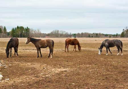 pastureland: Horses on pastureland in spring