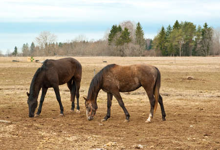 Two brown horses on pasture photo