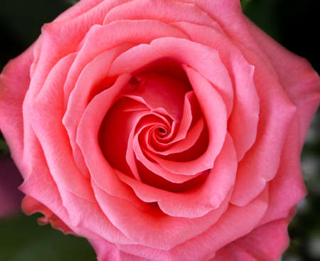 Close up view of single pink rose from above photo