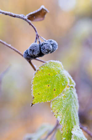 Frozen chokeberry in winter. Shallow DOF. photo