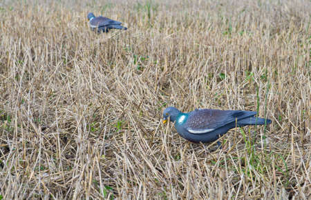 Pigeon decoy for hunting Stock Photo - 15329355