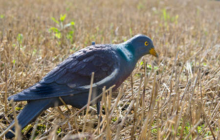 decoy: Pigeon decoy on field for hunting Stock Photo