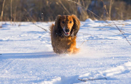 Long haired dachshund running on snow photo