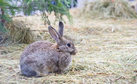european rabbit: Conejo europeo gris en la naturaleza