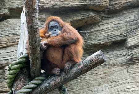 sumatran: Sumatran orangutan (Pongo Pygmaeus Abelii)