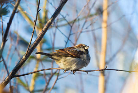 passer by: House sparrow (passer domesticus) on tree branch.