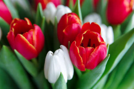 tulipan: Świeże tulipany na tle