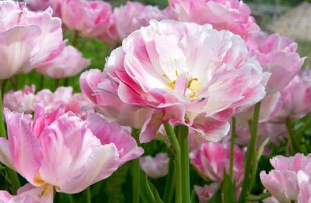 tulipes roses Andgelique pour le fond