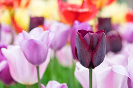 red tulip: Claret red tulip with colorful background