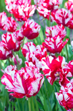 flaming: Flaming Parrot tulips for background