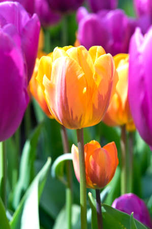 Lilac tulips with orange tulip in the middle