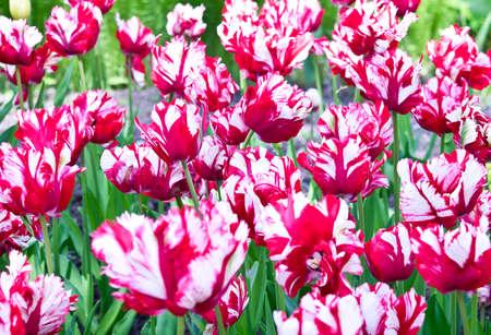tulipan: Czerwone i białe tulipany na tle Parrot