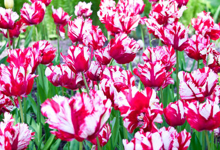 red tulip: Red and white Parrot tulips for background Stock Photo