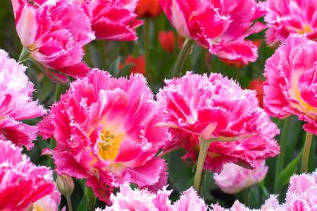 fringe: Pink fringe tulips for background
