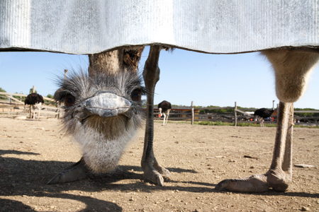 The head of the ostrich looks ridiculously from under the fence and looks the same lens