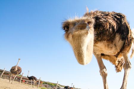 De grappige struisvogel helt over zijn hoofd en kijkt nieuwsgierig naar de toeschouwer