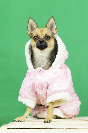 chic: Dog in winter clothes. Funny dog ??of the Toy Terrier breed in winter clothes at the photo session in the studio Stock Photo