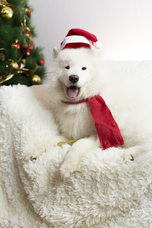 White dog in a red scarf and hat. A large white dog lying on a white sofa near the New Year tree. The dog has a red hat and scarf on his head