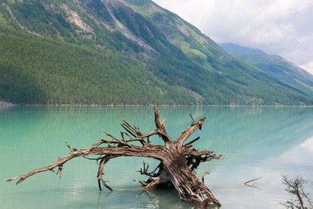 An old tree fell into the lake. Fell into the water of a mountain lake.
