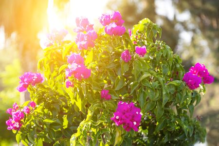 Bright juicy flowers at sunrise. The flower bush with red inflorescences is illuminated by sunshine.