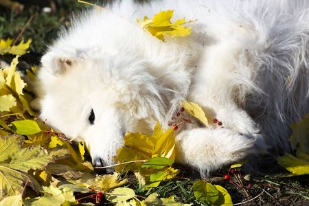 White dog lies in the leaves. A large white dog tired of a walk lies in the autumn fallen leaves. Zdjęcie Seryjne