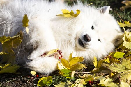 White dog lies in the leaves A large white dog tired of a walk lies in the autumn fallen leaves