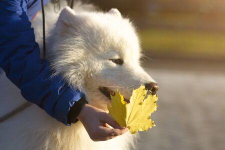 Big white dog in the park close-up, White dog husky husky pet walks on the street closeup,