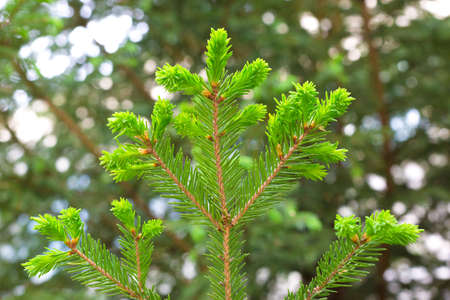 Young green pine branch with fresh needles. Banque d'images