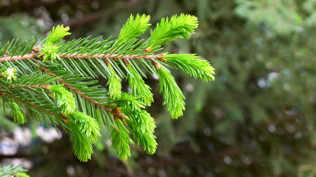 Young green pine branch with fresh needles.,