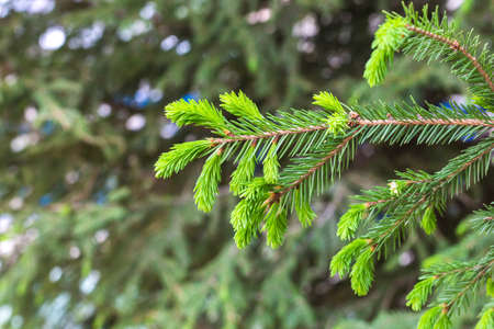 Fluffy branch of a fir tree in a city park, copy space. Banque d'images