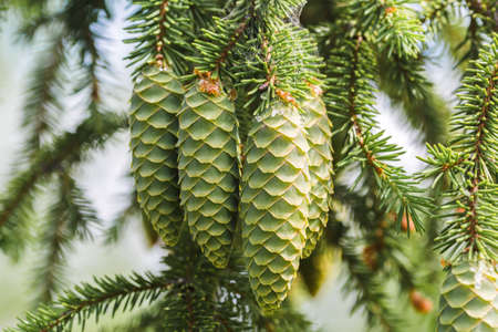 A green cone on young fluffy branch of a fir tree. 版權商用圖片