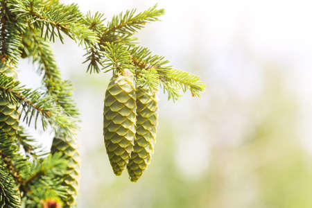 A green cone young fluffy branch of a fir tree.