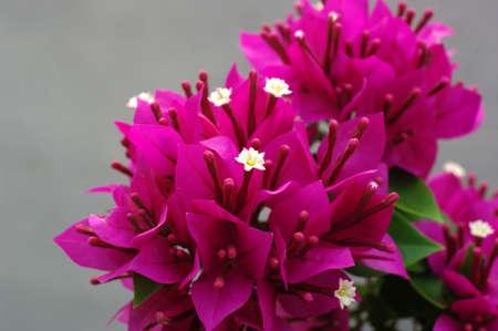 Fuengfah Flower