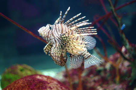 turkeyfish: Fish Lion