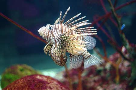 nurkować: Lion Fish Zdjęcie Seryjne