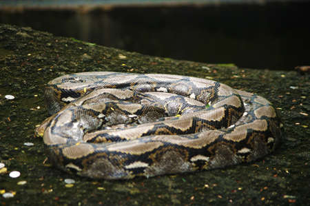 hibernate: Boa sleep on stone