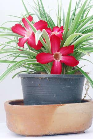 sprung: Red flower