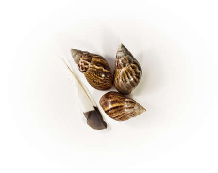 clam gardens: Snail shell and feather