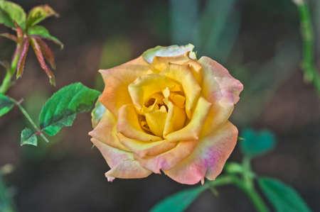 botanica: Yellow rose flower