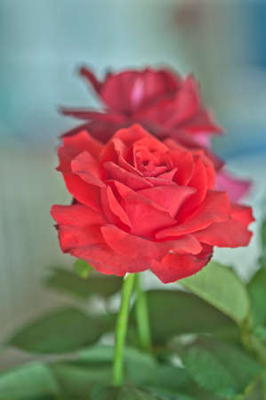 botanica: Red rose flower