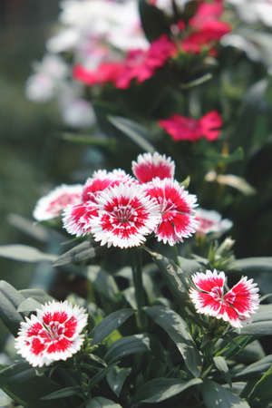 Red Dianthus Chinensis Flowers photo