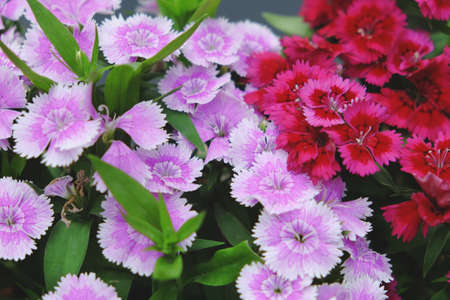Red and Pink Dianthus Chinensis Flowers photo