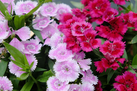 dianthus: Red and Pink Dianthus Chinensis Flowers