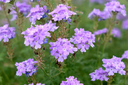 Purple verbena flower in garden