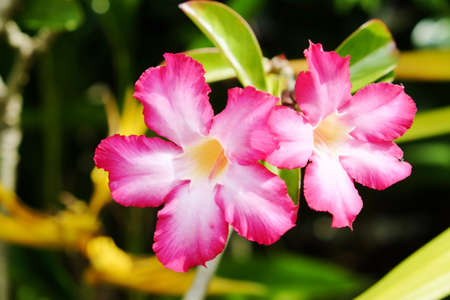 Floral Tropical flower Pink Adenium  Desert rose photo