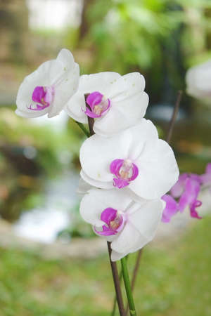 White Orchids Flower inflorescence, from Thailand garden photo